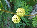 Starr-091104-0934-Calliandra haematocephala-flower buds-Kahanu Gardens NTBG Kaeleku Hana-Maui (24357269074).jpg