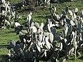 Starr-100331-4025-Opuntia ficus indica-habit-Kula-Maui (25013440925).jpg
