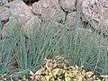 Starr-120330-9247-Juncus sp-planting-Makawao-Maui (24770607639).jpg