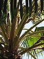 Starr-120522-6259-Pritchardia remota-crown and fruit-Iao Tropical Gardens of Maui-Maui (25143403055).jpg