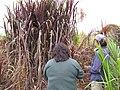 Starr-120620-7497-Cenchrus purpureus-purple bana grass with Pam and Kim-Kula Agriculture Station-Maui (25145797685).jpg