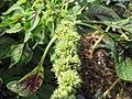 Starr-121108-0719-Amaranthus tricolor-seedhead-Pali o Waipio-Maui (24565328764).jpg