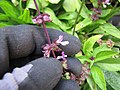 Starr-130319-3096-Ocimum basilicum var thyrsiflorum-flowers-Kilauea Pt NWR-Kauai (25115436541).jpg