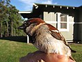 Starr-130601-4544-Cenchrus clandestinus-habit with House Sparrow in hand-Hawea Pl Olinda-Maui (24580554784).jpg