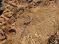 Starr-141217-5557-Rhizophora mangle-seedpod by beach-Keanakeiki-Kahoolawe (24618778694).jpg