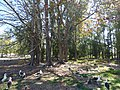 Starr-150326-0772-Terminalia catappa-grove with Laysan Albatrosses-Town Sand Island-Midway Atoll (25148589302).jpg