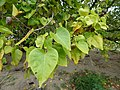 Starr-150327-0332-Thespesia populnea-leaves and nuts-Clipper House Sand Island-Midway Atoll (25241693906).jpg
