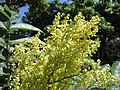 Starr-151029-2747-Rhus sandwicensis-flowers-Maui Nui Botanical Garden Kahului-Maui (26256564806).jpg