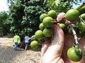 Starr-170913-0140-Sapindus saponaria-immature fruit-CTAHR Urban Garden Center Pearl City-Oahu - Flickr - Starr Environmental.jpg