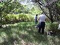 Starr 030625-0024 Cynodon dactylon.jpg