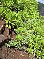 Starr 031210-0109 Chenopodium oahuense.jpg