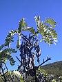 Starr 041006-0428 Sophora chrysophylla.jpg