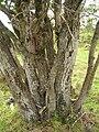 Starr 051029-5096 Nestegis sandwicensis.jpg