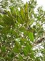 Starr 051029-5109 Alectryon macrococcus var. auwahiensis.jpg