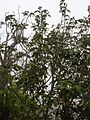 Starr 060225-8715 Alectryon macrococcus var. auwahiensis.jpg