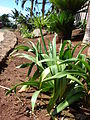 Starr 070221-4779 Agapanthus praecox subsp. orientalis.jpg