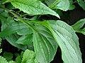 Starr 070906-8822 Echinacea purpurea.jpg