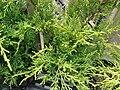 Starr 070906-9004 Juniperus chinensis.jpg