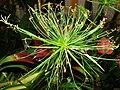 Starr 070906-9085 Cyperus papyrus.jpg