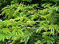 Starr 080716-9410 Unknown fabaceae.jpg