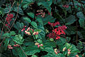 Starr 980529-4203 Clerodendrum splendens.jpg