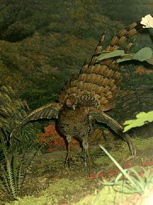 Copper pheasant - Specimen – AMNH