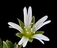 Stellaria palustris ENBLA01