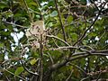 Sterculia guttata Roxb. (6425076183).jpg