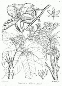 Sterculia villosa Bra10