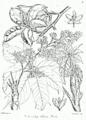 Sterculia villosa Bra10.png