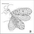 Stictosisyra pennyi fig 1B.jpg