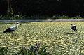 Storks DobrichZoo.jpg