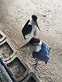 Storks of the Marabou (Leptoptilos) in World of Birds Wildlife Sanctuary and Monkey Park. South Africa.jpg