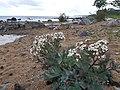 Strandkål på Simris strandäng.jpg