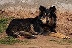 Stray German Shepherd Dog.jpg