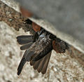 Streaked-throated Swallow (Hirundo fluvicola) building nest W IMG 2356.jpg