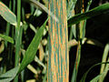 Stripe rust on wheat.jpg
