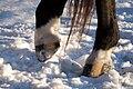 Striped Hooves on Snow.jpg