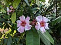 Strophanthus gratus 99.jpg