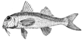 Study of Fishes-Fig 7.png