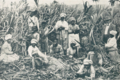 Sugarcane field, Jamaica (from a book Published in 1931) P.355.png