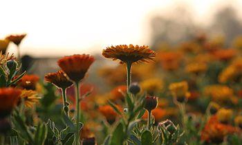 Sunflower facing towards the Sun.jpg