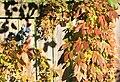 Sunlit autumn fence, vines.jpg