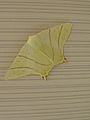 Swallowtail Moth.JPG
