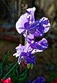Sweet pea 'Lathyrus odoratus' violet flower at Boreham, Essex, England 3.jpg