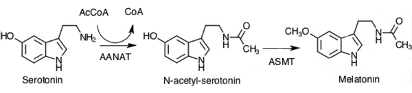 Synthesis of Melatonin from Serotonin through two enzymatic steps.png