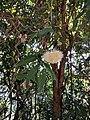 Syzygium munronii 38.jpg