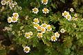 Tanacetum parthenium - Botanischer Garten Mainz IMG 5501.JPG