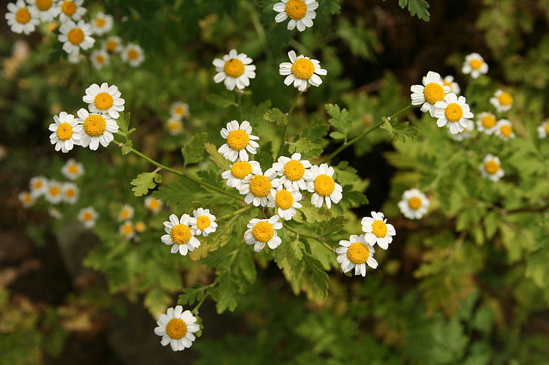 File:Tanacetum parthenium - Botanischer Garten Mainz IMG 5501.JPG