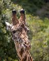 Tanzania - Giraffe (11053349855).jpg
